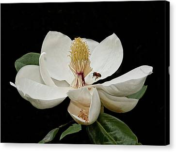 Southern Magnolia With Bee Canvas Print by Sandra Anderson