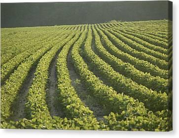 Soybean Crop Ready To Harvest Canvas Print by Brian Gordon Green