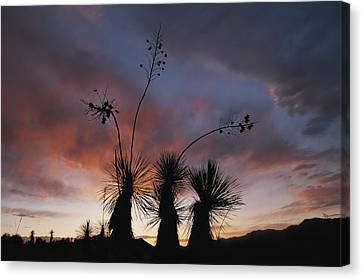 Spanish Bayonet Yucca Plants Canvas Print by Annie Griffiths