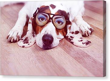Spanish Hound Dog Lying With Joke Glasses Canvas Print by Retales Botijero