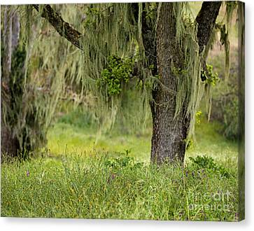 Spanish Moss And Wildflowers Canvas Print by Matt Tilghman