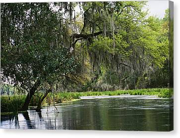 Spanish Moss Fills Tree Branches Canvas Print