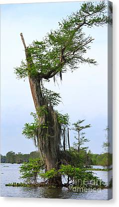 Spanish Moss On Bald Cypress Tree In The Atchafalaya Swamp Canvas Print by Louise Heusinkveld