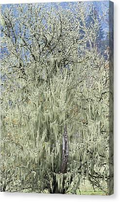 Spanish Moss (tillandsia Usneoides) Canvas Print by Alan Sirulnikoff