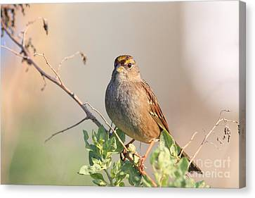 Sparrow Bird Perched . 40d12304 Canvas Print by Wingsdomain Art and Photography