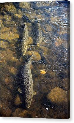Spawning Sturgeon Trio Canvas Print