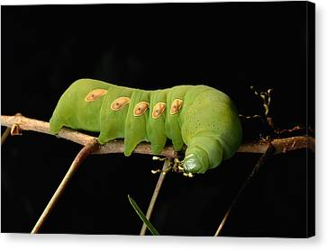 Sphinx Moth Caterpillar Manduca Sp Canvas Print by George Grall