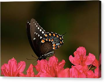 Spice Bush Swallowtail And Azaleas Canvas Print by Lara Ellis