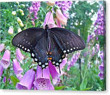 Spicebush Swallowtail Butterfly On Foxgloves - Papilio Troilus Canvas Print by Mother Nature