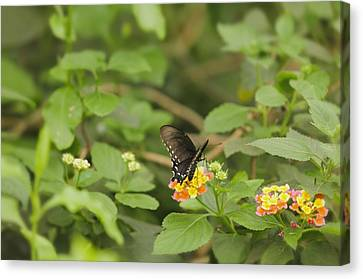Canvas Print featuring the photograph Spicebush Swallowtail Butterfly On Lantana Shrub Verbena by Marianne Campolongo