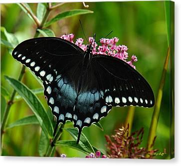 Spicebush Swallowtail Din038 Canvas Print