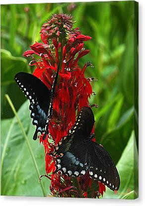 Spicebush Swallowtails Visiting Cardinal Lobelia Din041 Canvas Print