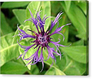 Spider Flower Canvas Print by Nick Kloepping