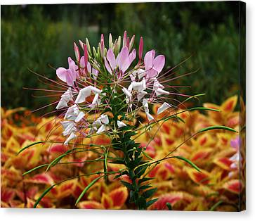 Spider Flower Canvas Print by Vijay Sharon Govender
