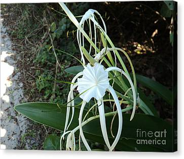 Canvas Print featuring the photograph Spider Lily3 by Megan Dirsa-DuBois