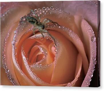 Spider On Rose Canvas Print