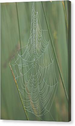 Spiderwebs Laden With Dew On A Foggy Canvas Print by Joel Sartore