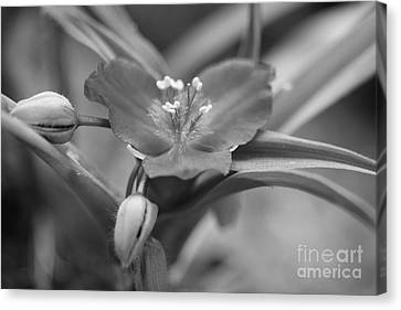 Spiderwort In Black Canvas Print by Brooke Roby