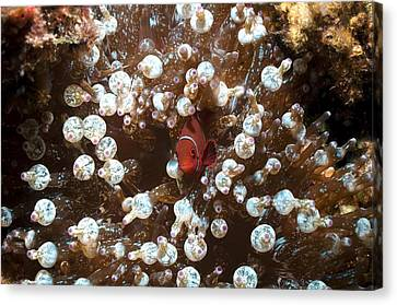 Spinecheek Anemonefish Canvas Print by Georgette Douwma