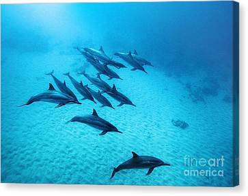 Spinner Dolphins Blue Canvas Print by Monica and Michael Sweet