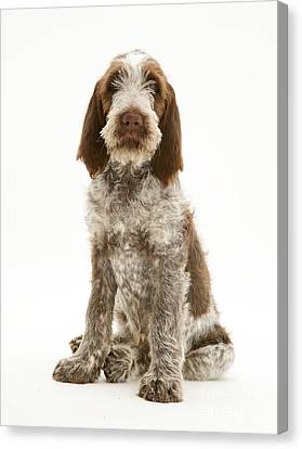 Spinone Puppy Canvas Print
