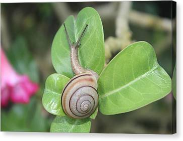 Spiral Snail Canvas Print by White Space