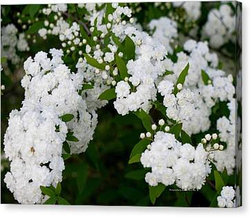 Canvas Print featuring the photograph Spirea Blooms by Maria Urso