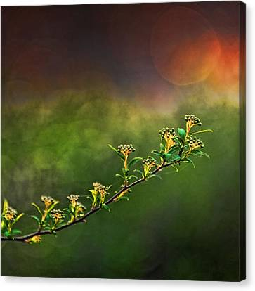 Spirea Sunset Canvas Print