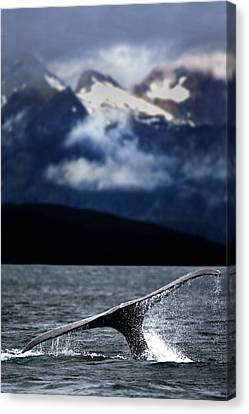 Splash From Tail Of Humpback Whale Canvas Print by Richard Wear