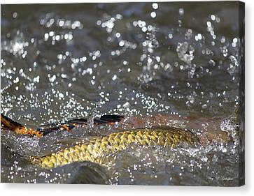 Splashes Of Carp Canvas Print by Amy Gallagher