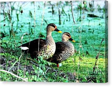 Canvas Print featuring the photograph Spot Bill Ducks by Pravine Chester