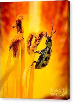 Spotted Cucumber Beetle Canvas Print by Carl Jackson