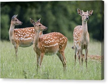 Spotted Deer, Harrogate, Yorkshire Canvas Print by John Short