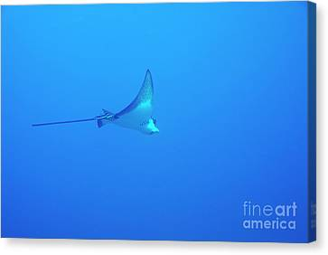 Spotted Eagle Ray Canvas Print by Sami Sarkis