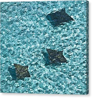 Spotted Eagle Rays 3 Canvas Print