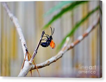 Spotted Oleander Moth Canvas Print by Lynda Dawson-Youngclaus