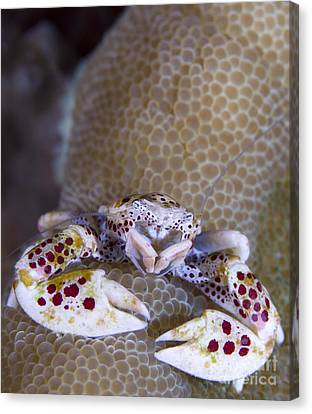 Spotted Porcelain Crab Feeding Canvas Print by Steve Jones