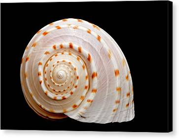 Spotted Sea Snail Shell Canvas Print by Michael Smith Photography/Studio One Pensacola