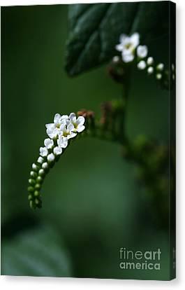 Spray Of White Flowers Canvas Print by Sabrina L Ryan