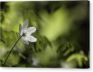 Spring Anemone Canvas Print by Ulrich Kunst And Bettina Scheidulin
