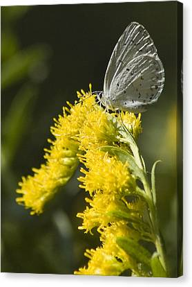 Spring Azure And Goldenrod Canvas Print