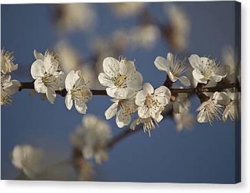 Spring Blossoms Canvas Print by Ayhan Altun