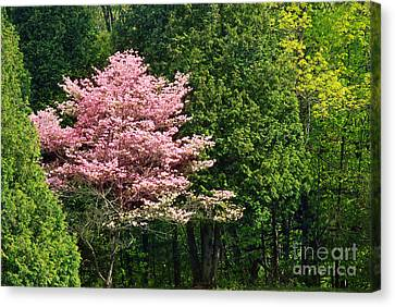 Spring Blossoms Canvas Print by HD Connelly