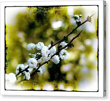 Spring Bough Canvas Print by Judi Bagwell