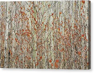 Spring Buds Against Birch Trees Hymers Canvas Print by Susan Dykstra