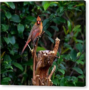 Spring Cardinal Canvas Print by Paul  Wilford