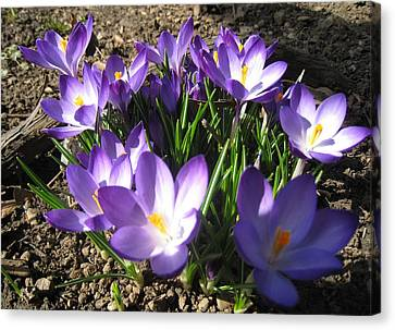Canvas Print featuring the photograph Spring Crocus by AmaS Art