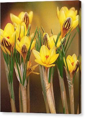 Spring Crocus Canvas Print by Anne Gordon