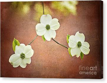 Canvas Print featuring the photograph Spring Dogwood Blooms by Cheryl Davis
