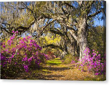 Spring Flowers Charleston Sc Azalea Blooms Deep South Landscape Photography Canvas Print by Dave Allen
